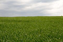Field sown with grass to the horizon Royalty Free Stock Images