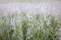 Field sown with oats closeup Royalty Free Stock Photo