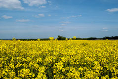 Field sown with by rape Royalty Free Stock Images