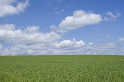 Field sown with rapeseed. In sunny day Stock Images