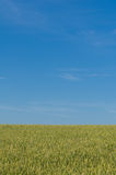 A field sown with rye. Royalty Free Stock Images