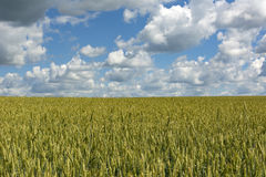 Field sown with wheat, grains, the sky with clouds. Field sown with wheat, cereals, blue sky with clouds Stock Images