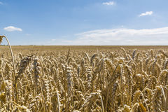 Field sown with wheat Royalty Free Stock Photos