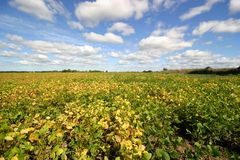 Field with soy beans Royalty Free Stock Photo