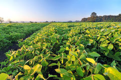 Field of soybean Royalty Free Stock Photo