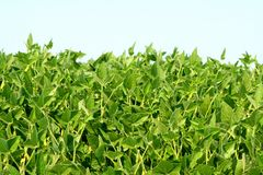 Field of soybean Royalty Free Stock Photography