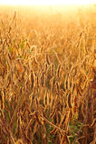 Field of soybean in early morning Stock Photo