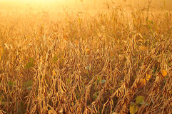 Field of soybean in early morning Stock Image