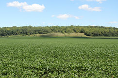 Field of Soybeans Royalty Free Stock Photos