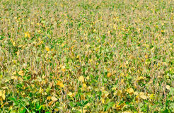 Field soybeans. Royalty Free Stock Photos