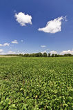 Field of Soybeans in Autumn Royalty Free Stock Image