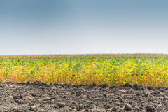 Field of Soybeans Royalty Free Stock Photo
