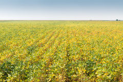 Field of Soybeans Stock Images