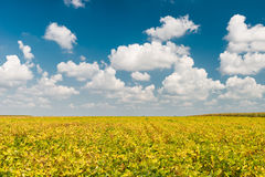 Field of Soybeans Royalty Free Stock Image