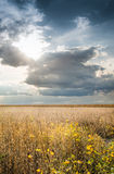 Field of Soybeans Stock Image