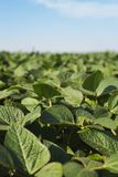 A field of soybeans royalty free stock photos