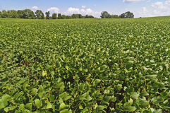 Field Soybeans At Harvest Time Royalty Free Stock Photo