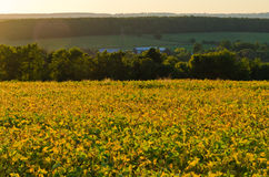Field of soybeans Royalty Free Stock Photography