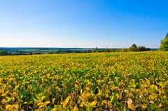 Field of soybeans Royalty Free Stock Images