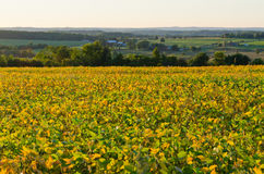 Field of soybeans Stock Photography