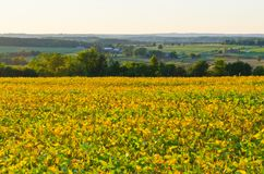 Field of soybeans Stock Photo