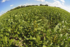 Field of Soybeans Ready For Harvest Royalty Free Stock Photos