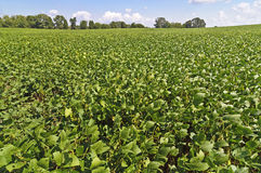 Field Of Soybeans At Time Of Harvest Royalty Free Stock Photos