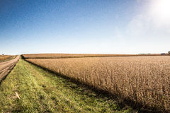 Field of soybeans Stock Photos