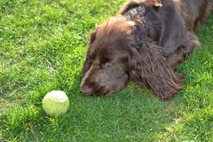 Field spaniel with tennisball. Field spaniel trying to hypnotize tennisball Stock Image