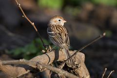 Field Sparrow Stock Photos