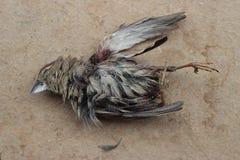 Field sparrow Stock Photo