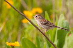 Field Sparrow. Gathering nesting materials royalty free stock photos