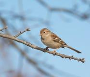 Field Sparrow in an Oak tree Stock Photo