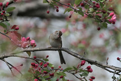 Field sparrow Royalty Free Stock Image