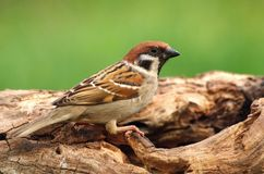 Field sparrow Passer montanus. In spring Stock Photography