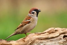 Field sparrow Passer montanus. In spring Stock Image