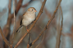 Field Sparrow Royalty Free Stock Images