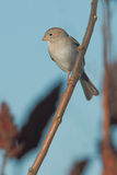 Field Sparrow Royalty Free Stock Photos