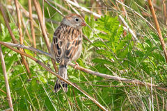 Field Sparrow Stock Photography