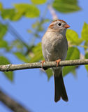 Field Sparrow Profile Stock Photo