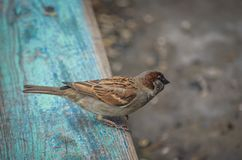 A field sparrow sits on a village bench and wipes aside. Claws on paws stick into the peeling paint of the bench. Shooting from to stock image