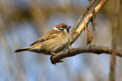 Field sparrow sitting on a branch on a sunny spring Stock Photo