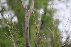 Field sparrow (Spizella pusilla) Stock Image