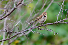 Field Sparrow Spizella pusilla Stock Photo