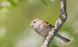 Field Sparrow, Spizella pusilla Stock Photo