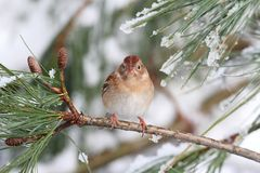 Field Sparrow (Spizella pusilla) On A Snow-covered Branch Stock Images