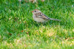 Field Sparrow Stock Images