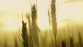 Field spikelets of wheat at sunset. Field of wheat spikelets at sunset motion stock video footage