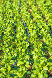 Field of spinach Royalty Free Stock Photography