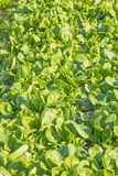 Field of spinach Stock Image